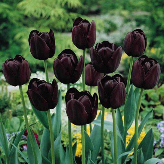 Tulipán-Queen-of-Night-Halloween